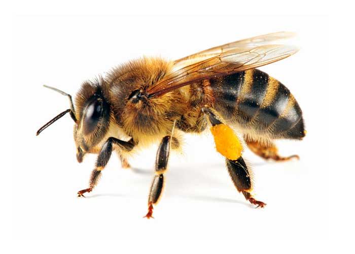 Honey Bee Swarm Rescue